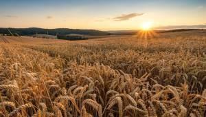 Buğday ve Pirinç Fiyatlarında Virüs Darbesi̇