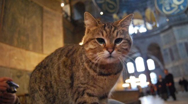 Ayasofya'nın sembolü kedi Gli, tedavi altına alındı