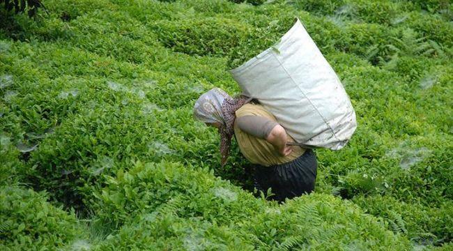 Azerbaycan'dan gümrüksüz çay ithalatı, Trabzonlu üreticinin tepkisini çekti