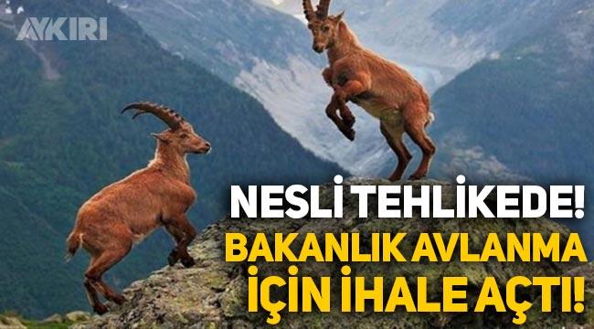 Nesli tehlikede olan yaban keçilerinin avlanması için Tarım ve Orman Bakanlığı ihale açtı