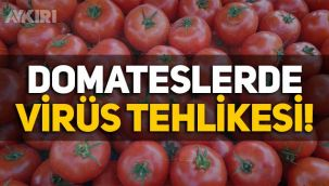 Türkiye'nin Rusya'ya sattığı domateslerde virüs, meyvelerde mantar çıktı!